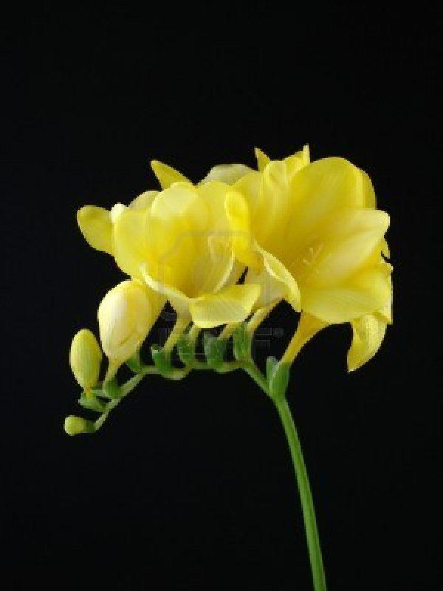 Yellow Freesia Dziaka Pinterest Freesia Flowers Flowers And