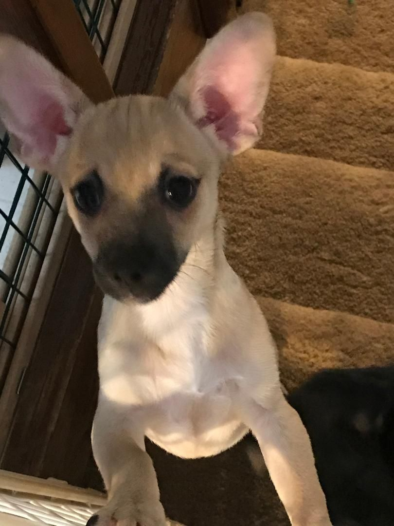 Chiweenie Dog For Adoption In Colorado Springs Co Adn 696728 On