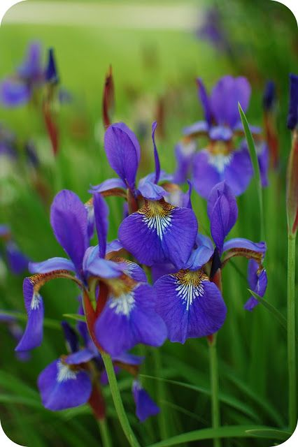Gardening Iris Flowers Habitat Garden Planting Flowers
