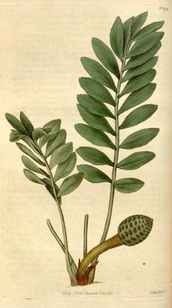 Zamia pygmaea illustration - circa 1815