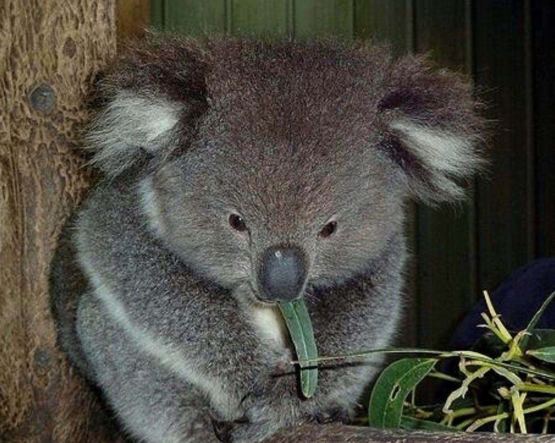 Fantastic Koala Bear Chubby Adorable Dog - 25471ed9bdf505a2672d3d155ded5015  Pic_499012  .jpg