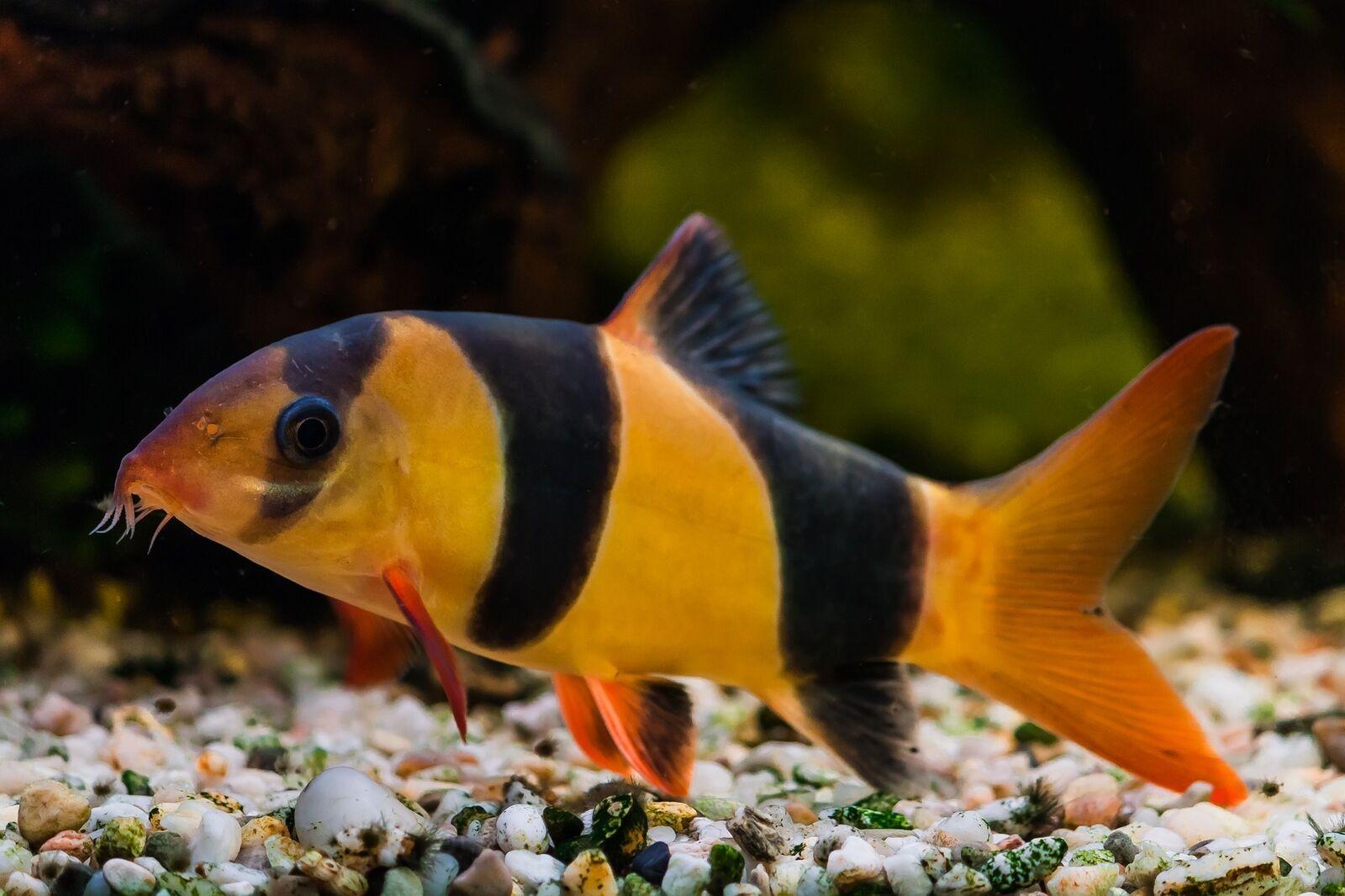 Clown Loach 2 75 3 25 Free Expedited Shipping Clown Loach Aquarium Fish Betta Fish