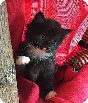 Union Ky Domestic Longhair Meet Noelle A Kitten For Adoption Kitten Adoption Pet Adoption Kittens Cutest