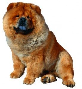 Good And Bad Aspects Of The Chow Chow Temperament Chow Chow Welpen