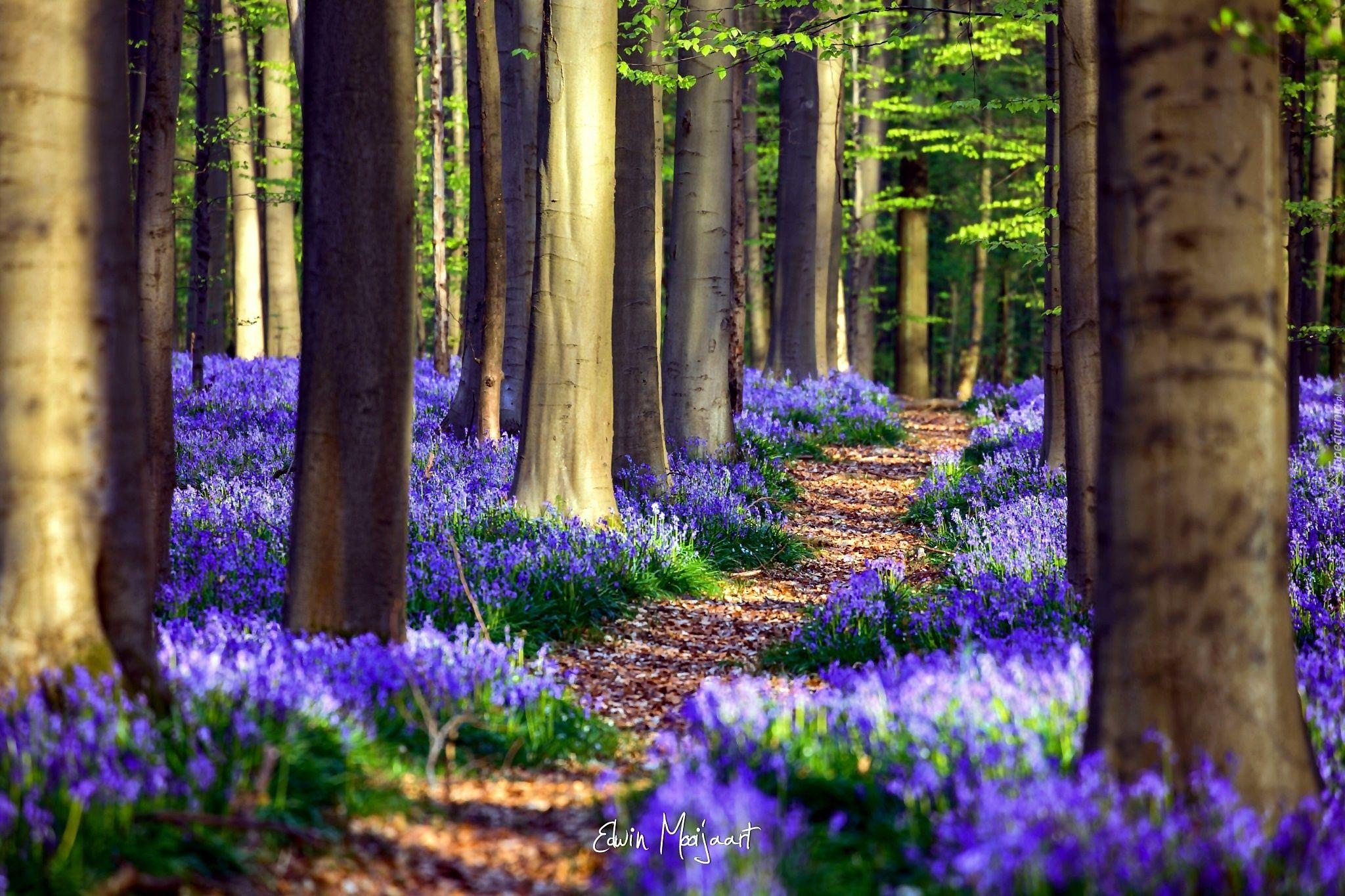 Las Kwiaty Sciezka Wiosna Belgia Nature Photography Trees Nature Photography Mother Nature Goddess