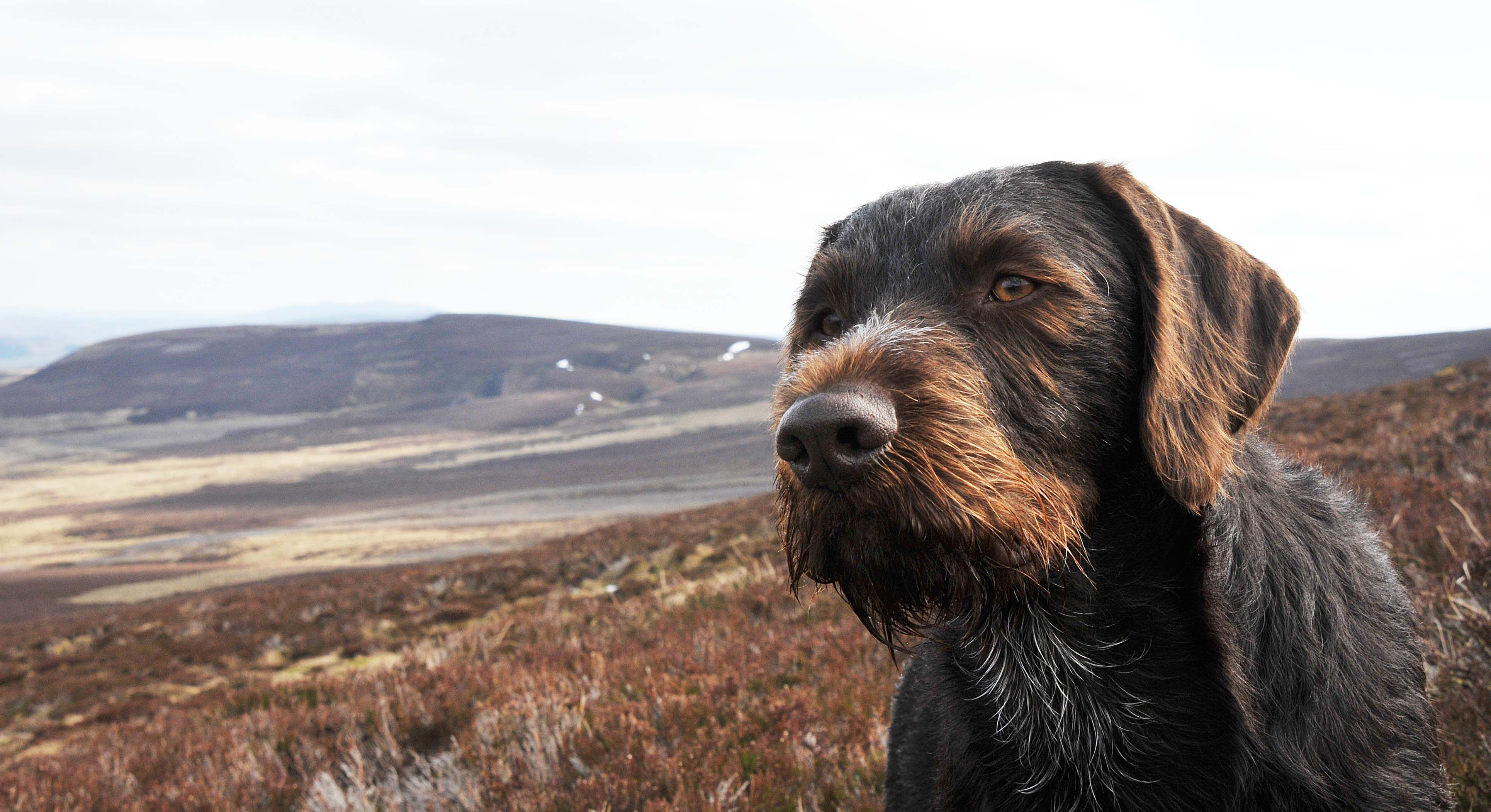 German Wirehaired Pointer ~ Classic Look | drahthaar | Pinterest ...