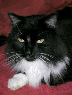 Tuxedo Black And White Maine Coon Cat : tuxedo, black, white, maine, Tuxedo, Kitties