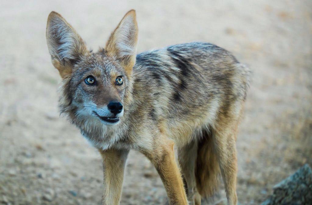 Desert Coyote Desert coyote, Mammals, Wild dogs
