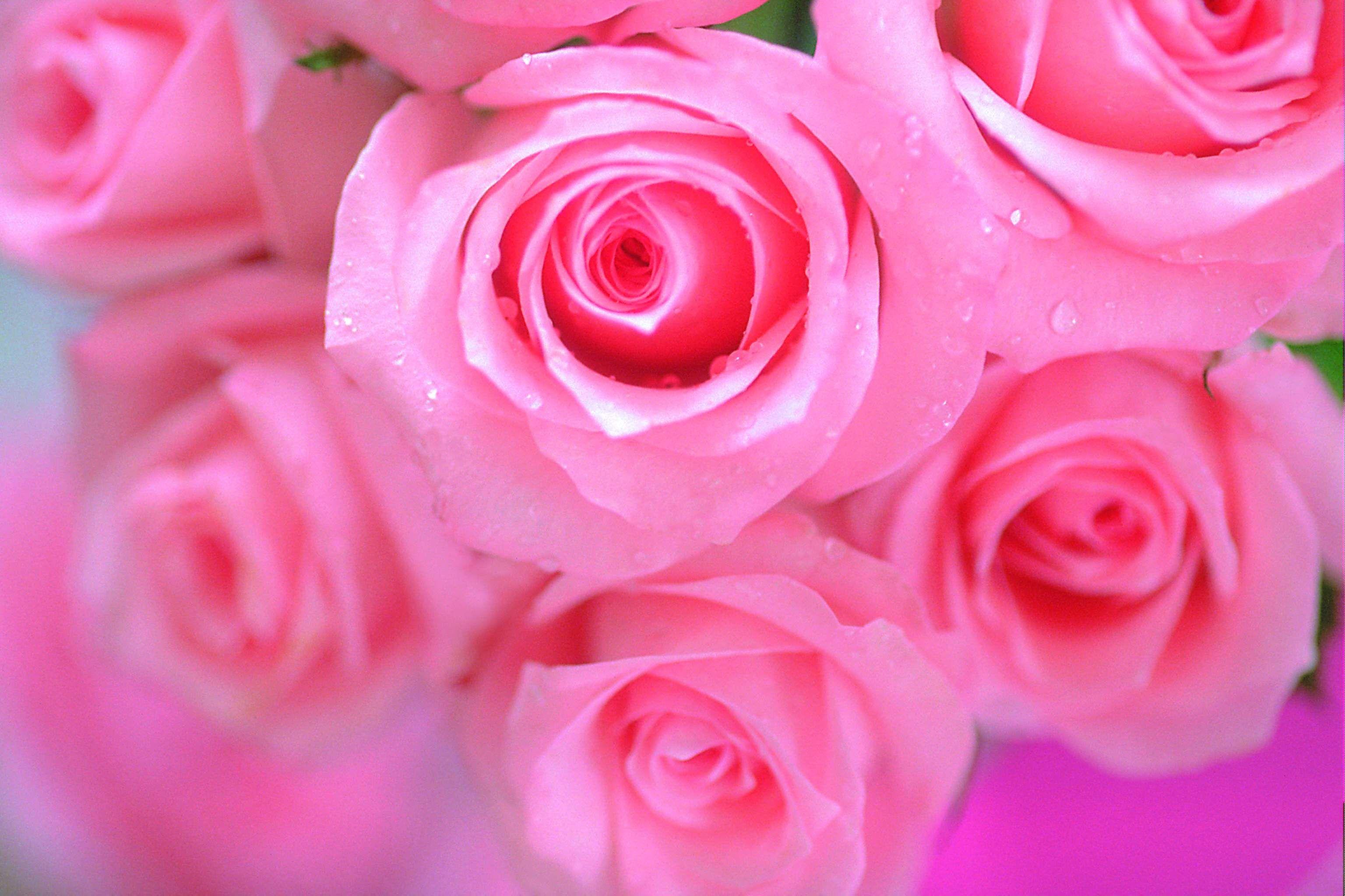 Pink Beauty Flower Single Rose: Beautiful Pink Rose Flowers