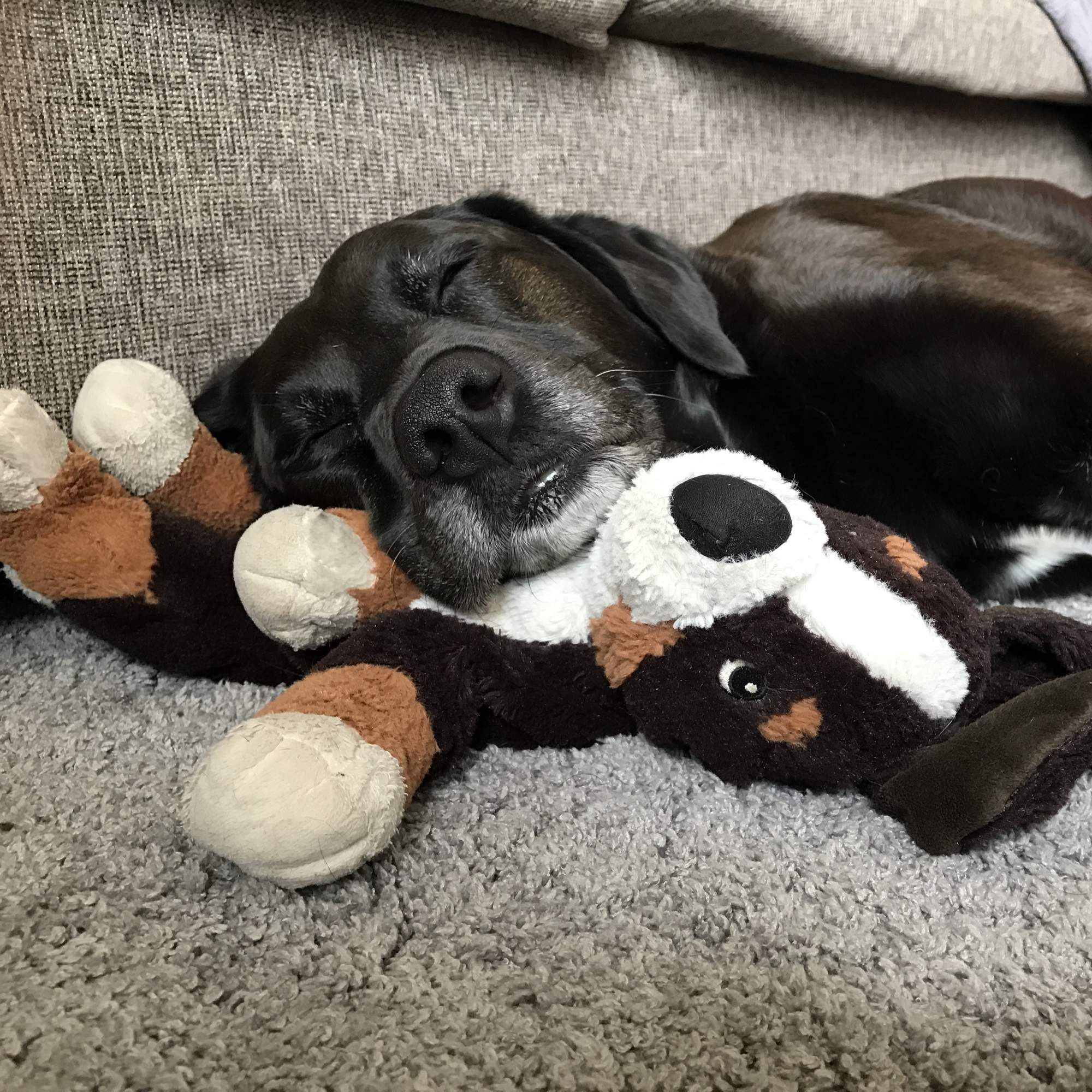 Sweet dog has been collecting stuffed animals for the past years