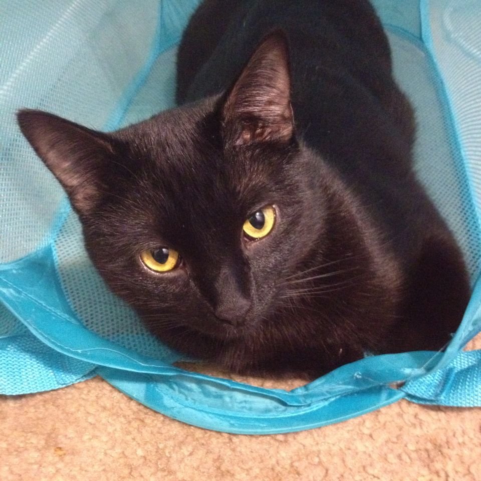 C K Dexter Haven Chillin In The Hamper Black Cat Trouble Cute Cats And Dogs Crazy Cats Cat Lover Quote
