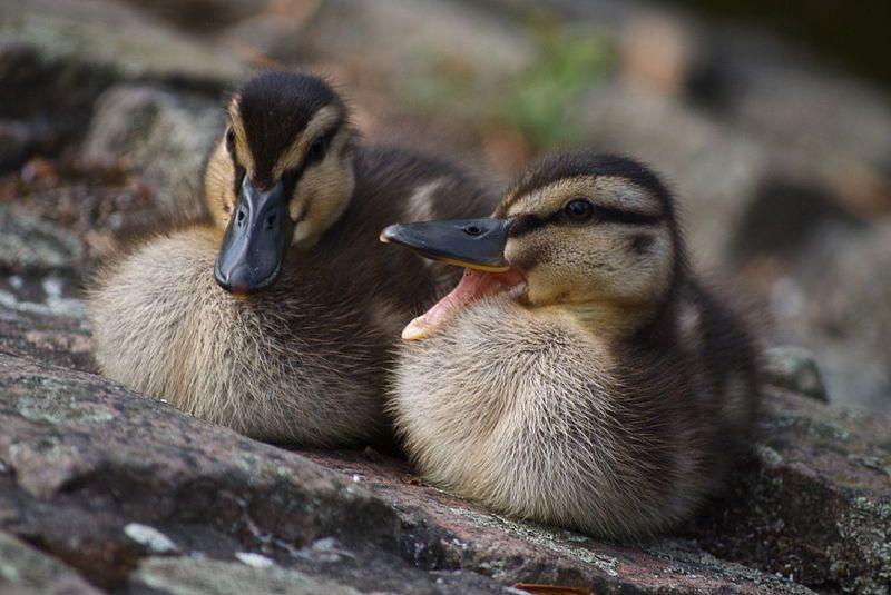Baby mallard ducks raising ducks duck breeds baby ducks