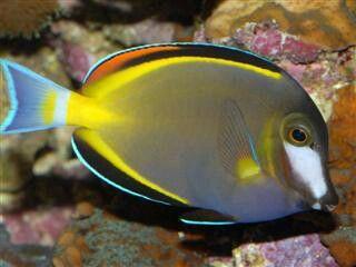 Powder Brown Tang Saltwater Aquarium Fish Saltwater Fish Tanks Marine Fish