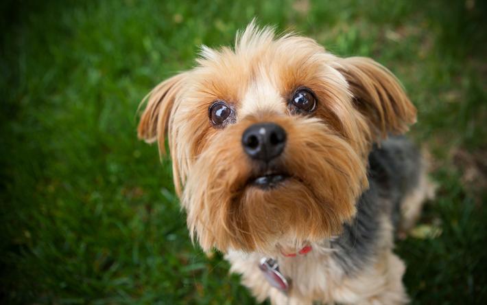 Pin By Dog Breeds On Yorkie Yorkie Terrier Yorkie Dogs Yorkie Puppy