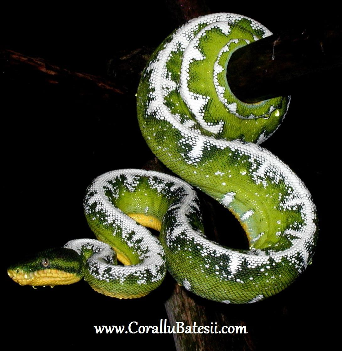Amazon Basin Emerald Tree Boa | future pet | Pinterest | Basin ...