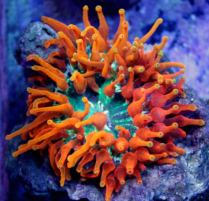 anemone anemone inferno bubble tip anemone the reef pinterest bubbles reef