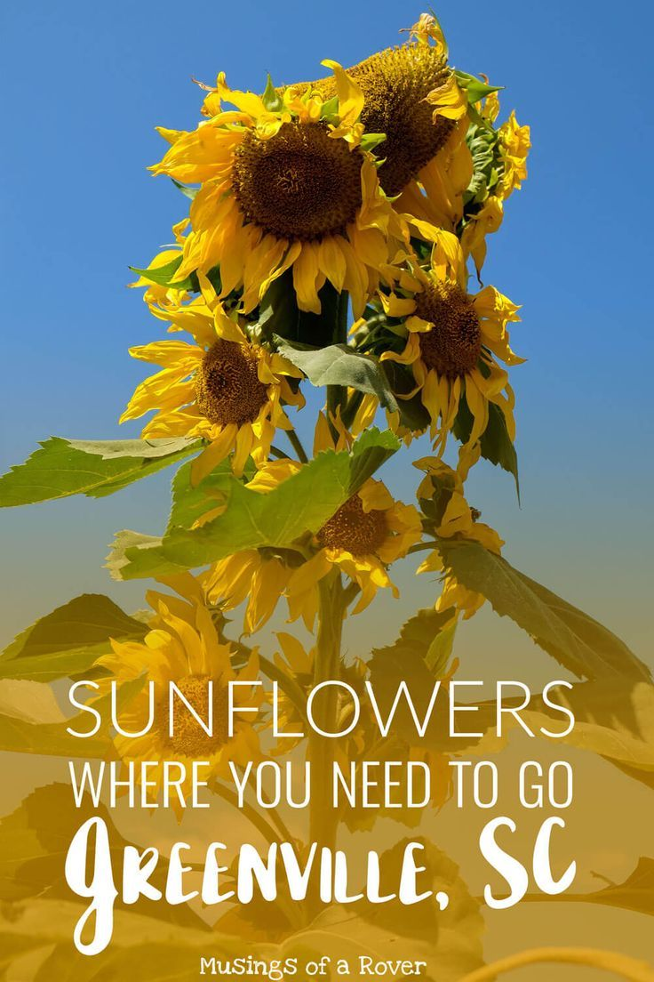 Want to know where to go sunflower picking in Greenville, SC? Beechwood Farms has you covered. Sunflowers bloom in September and this is a perfect early fall activity. travel tips, travel advice, greenville sc things to do, greenville south carolina things to do
