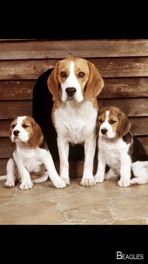 Beagles Forever Beagledog Beagles Colors Dogs Beagle Dog
