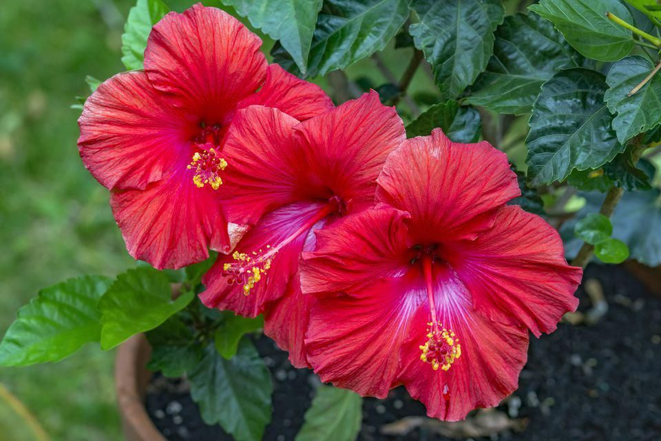 Hibiscus Flower Benefits For Hair And Skin Hibiscus Hibiscus In