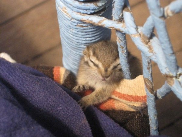 AWW! I want a chipmunk to fall asleep on me! :D
