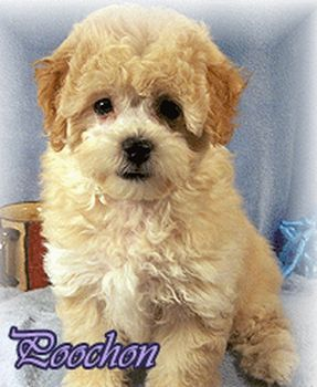Bichpoo Or Poochon Puppies For Sale Small Dogs Waiting For Homes