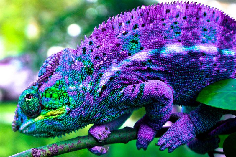 Chameleon Of A Different Color Animales Insectos Animales