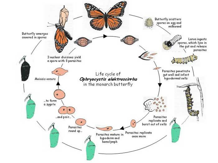 Monarch Lifecycle   Monarch Stuff   Butterfly life cycle