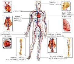 Resultado De Imagen Para Imagenes De Sistema Circulatorio Cerrado Y Coloreado Con Sus Par Sistema Circulatorio Sistema Circulatorio Cerrado Sistemas Del Cuerpo