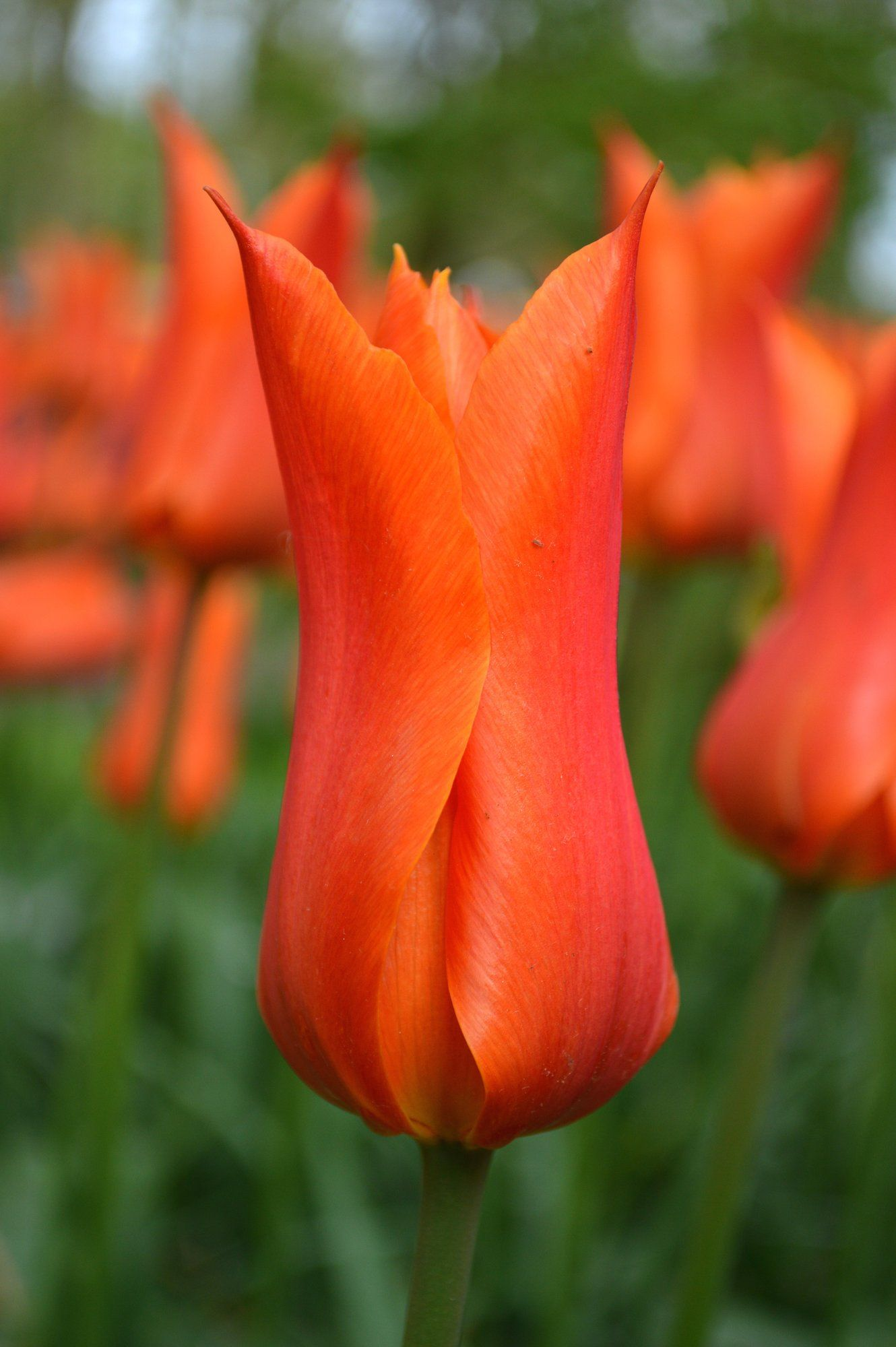 Tulip Ballerina Tulips Tulip Bulbs For Sale Bulb Flowers