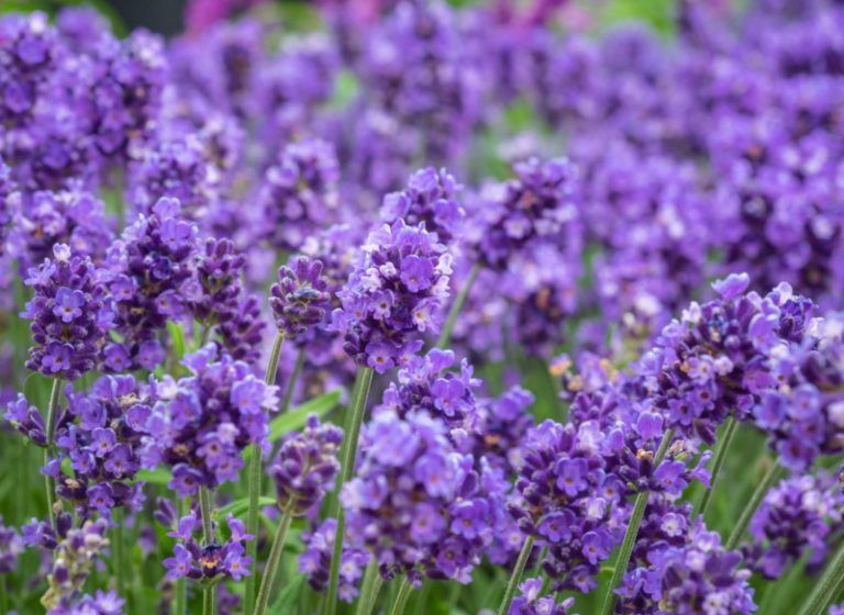 20 Different Types Of Lavender Plants In 2020 Lavender Plant Types Of Lavender Plants Plants