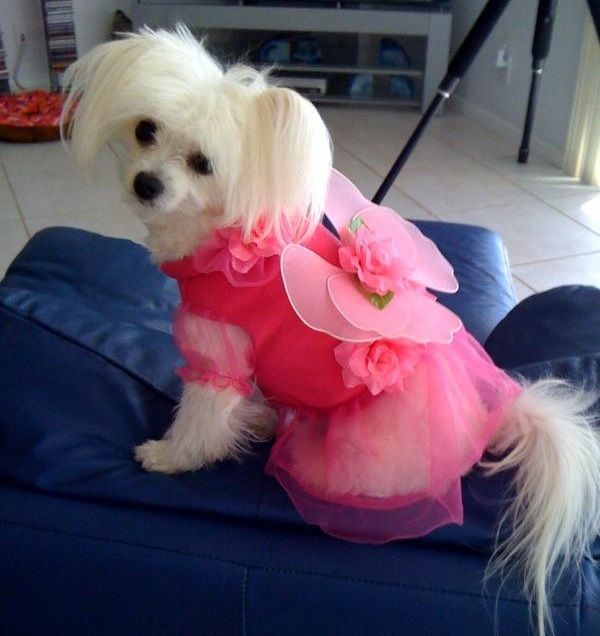 ... Casual Canine Flower Fairy outfit ready to grant wishes of unconditional love! //.baxterboo.com/p.cfm/casual-canine-flower- fairy-dog-costume & Trixie is wearing our Casual Canine Flower Fairy outfit ready to ...