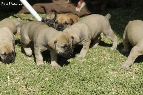 Petssa Classified Ads Boerboel Puppies For Sale In Gauteng Puppies For Sale Boerboel Puppies