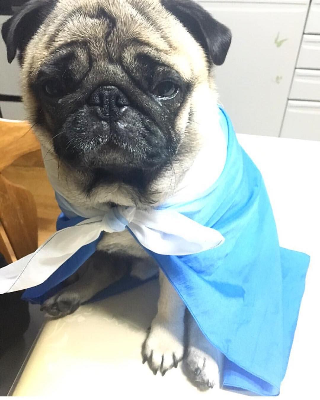 If You Think A Fancy Blue Cape Will Impress This Pug Think Again