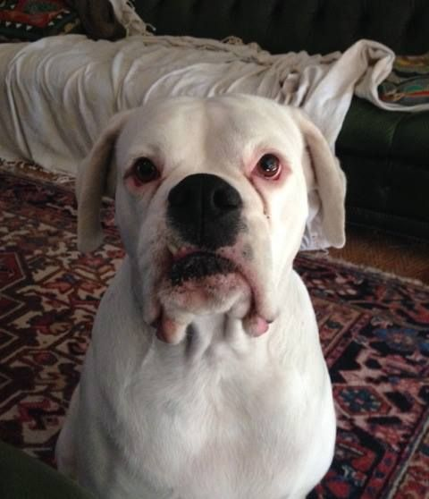 Gauteng 4 Year White Female Boxer Called Salty And Her Best