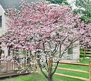 Cottage Farms Stellar Pink Dogwood Tree Qvc Com Dogwood Trees Dogwood Tree Landscaping Pink Dogwood Tree