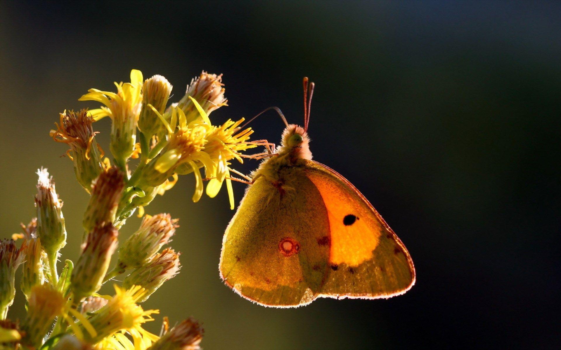 butterfly full hd scream Pinterest