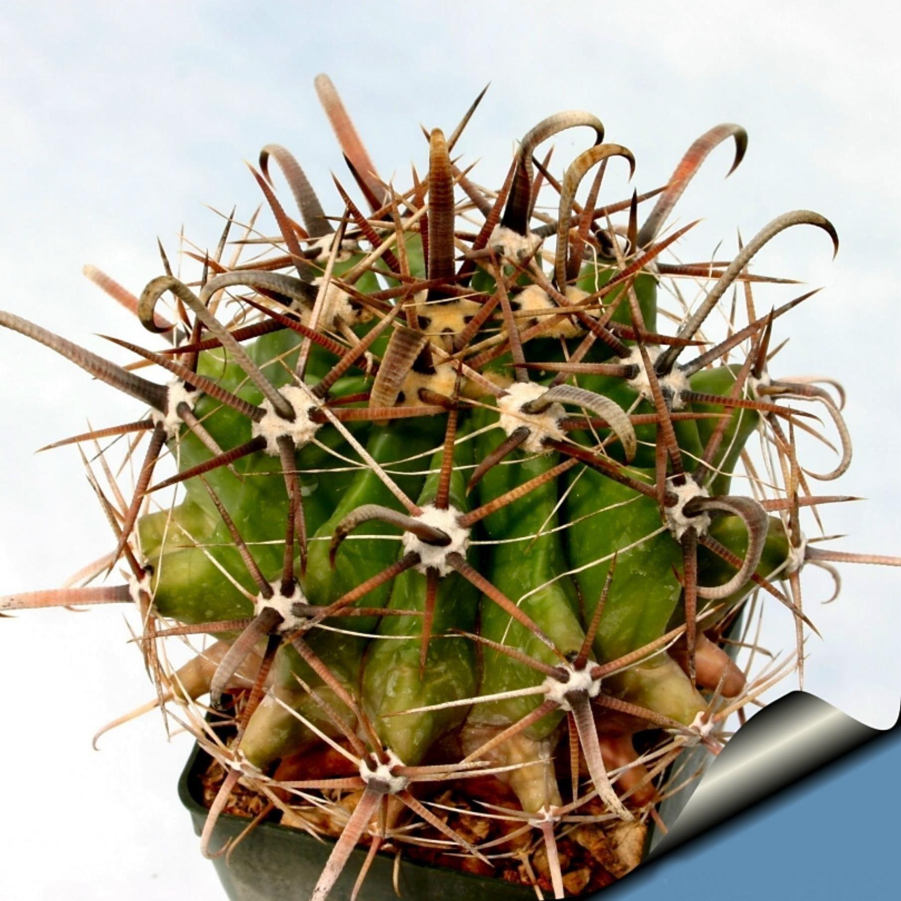 Ferocactus Peninsulae Seeds 2 Seeds Seeds For Sale Barrel Cactus