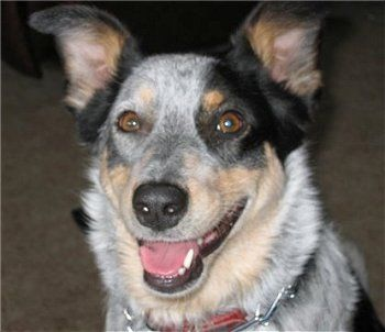 Matilda The Texas Heeler At 2 Years Old Mother Is An Australian