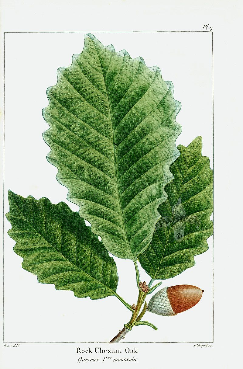 Vintage color drawing of an oak tree branch and acorns. reusable