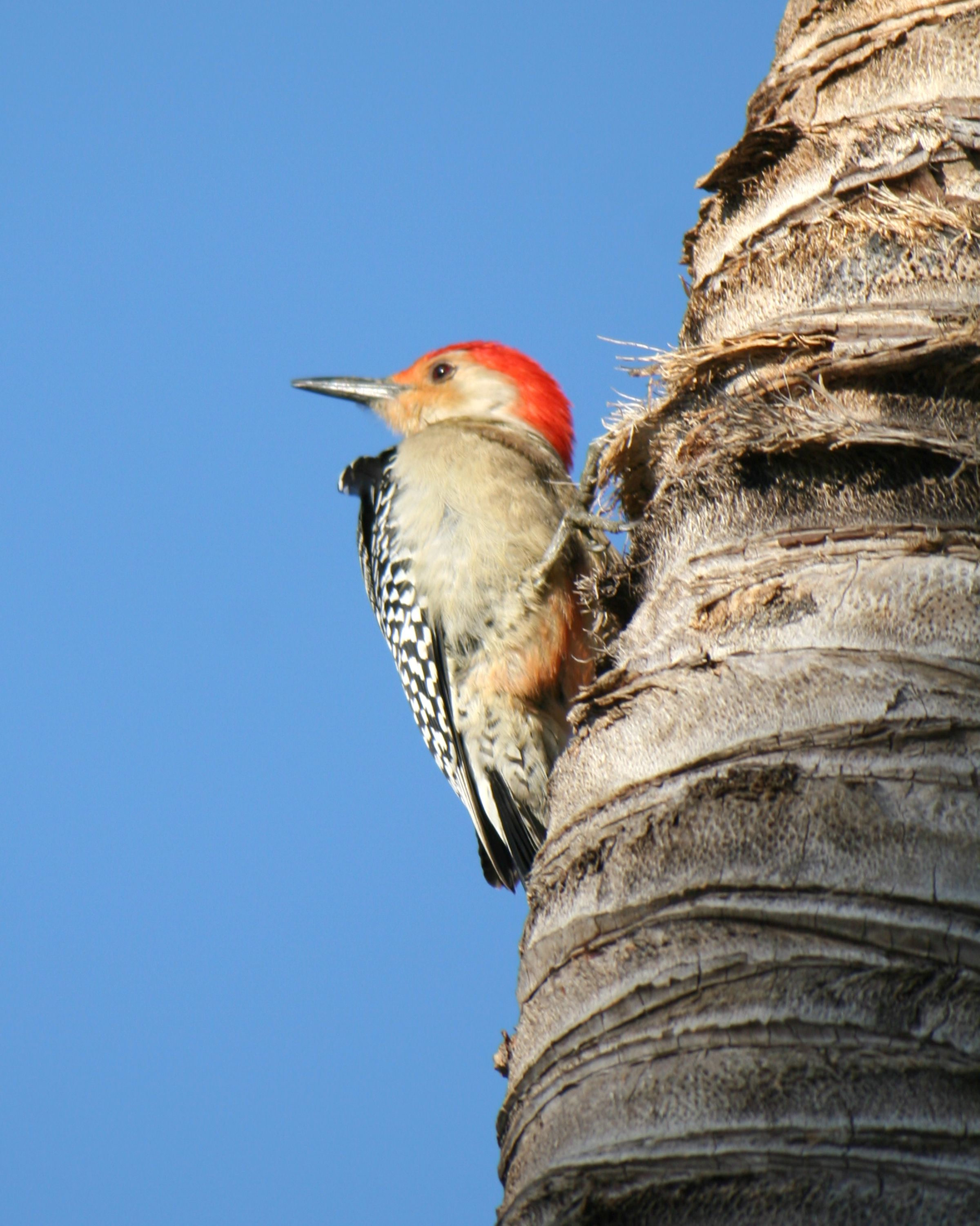 red bellied woodpecker charlie banks photography florida