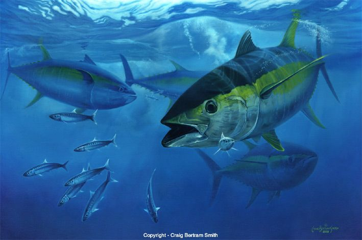 Tuna yellowfin torpedo copyright craig bertram smith for What does a tuna fish look like