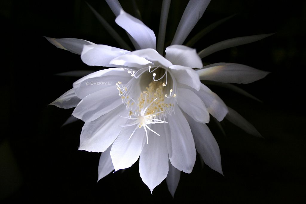 Queen of the Night | This gorgeous fragrant flower blooms only at night and it only lasts for an hour.  This is the Orchid Cactus, also known as Queen of the Night, Night Blooming Cereus, and Epiphyllum.