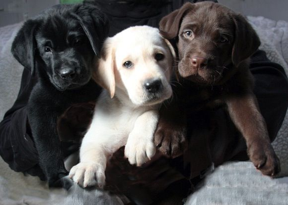 Black Yellow Chocolate Labrador Puppies Lab Puppies Cute