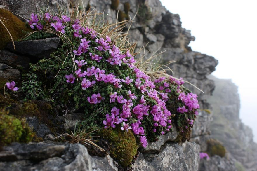 Purple saxifrage, this one is wild, but there are many varieties and are great gor rock gardens and trailing over walls.