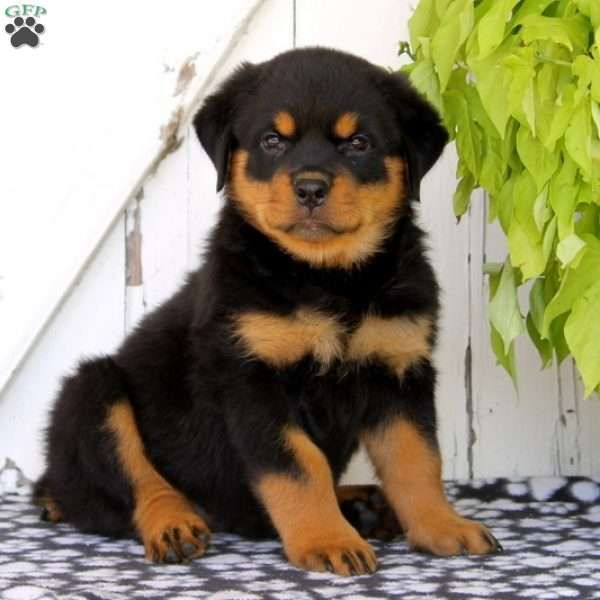 Izzy Rottweiler Puppy For Sale In Pennsylvania Animals
