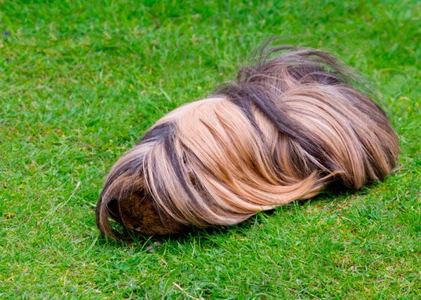 Peruvian Guinea Pig Care Guide | Caring For A Long Haired Guinea Pig