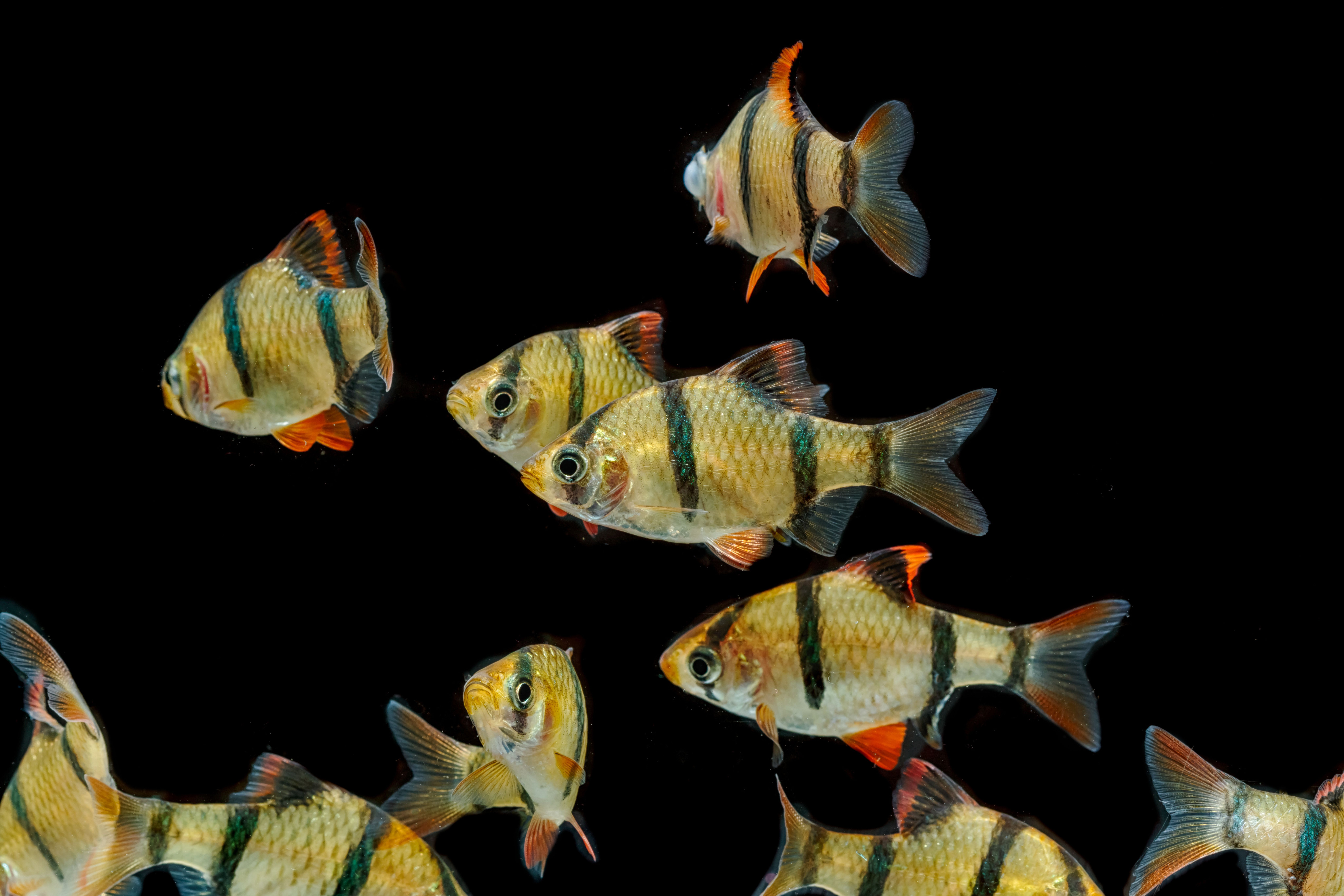 Tiger Barb Feeding Guide Tiger Fish Tropical Fish Aquarium Fish Tank