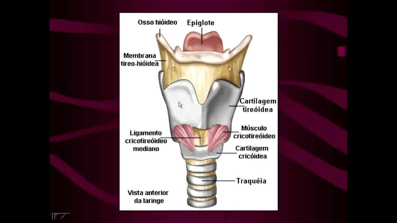 Vista frontal laringe, faringe, tráquea (cricoides: crico tomía ...