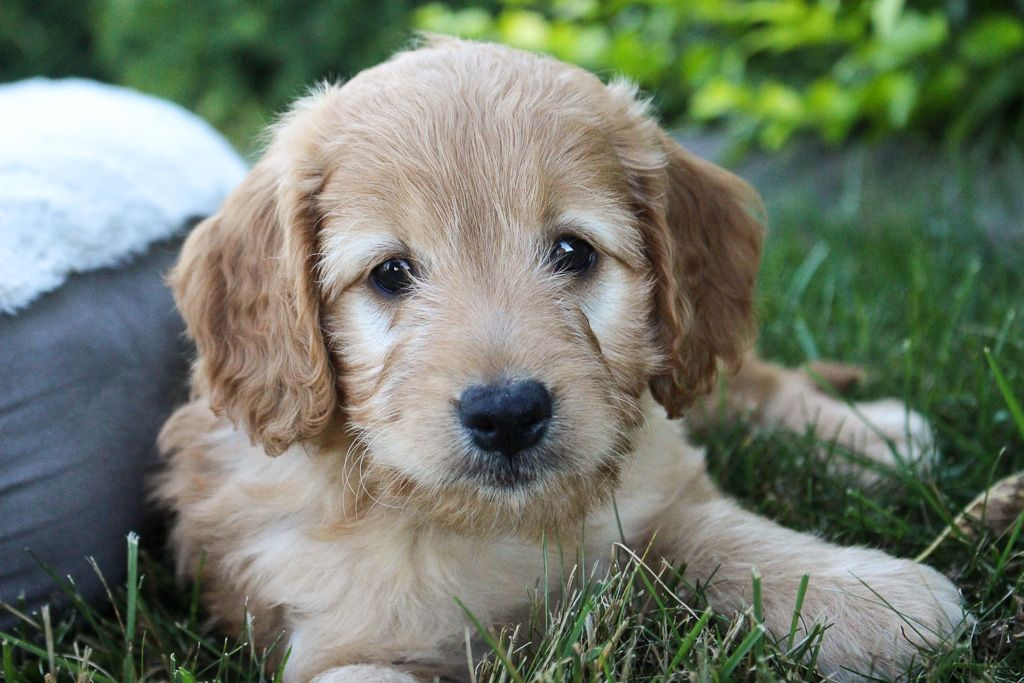 Charming Enthusiastic & Friendly Goldendoodle puppies