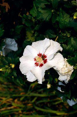 Hibiscus Syriacus Red Heart House Garden Plants In My Garden